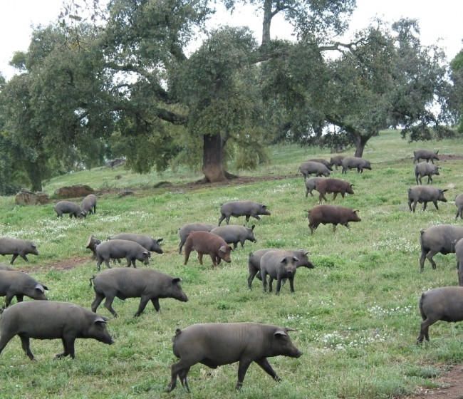 Aprobada la distribución de las ayudas excepcionales para el sector porcino ibérico