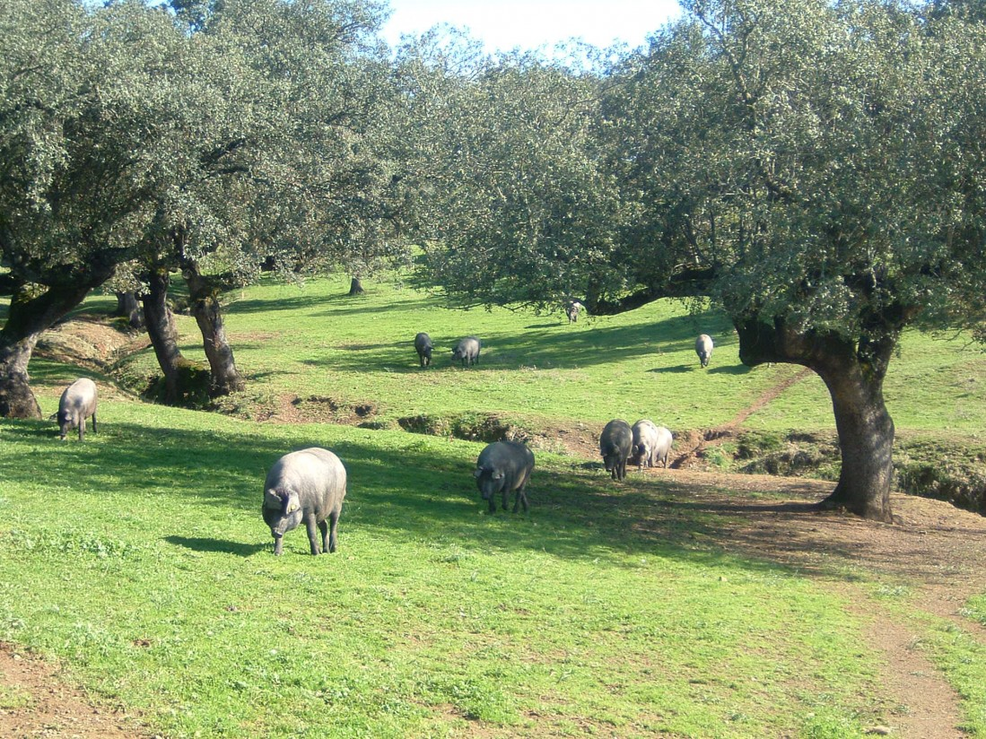UPA-UCE destaca la consolidación del porcino Ibérico como sector estratégico