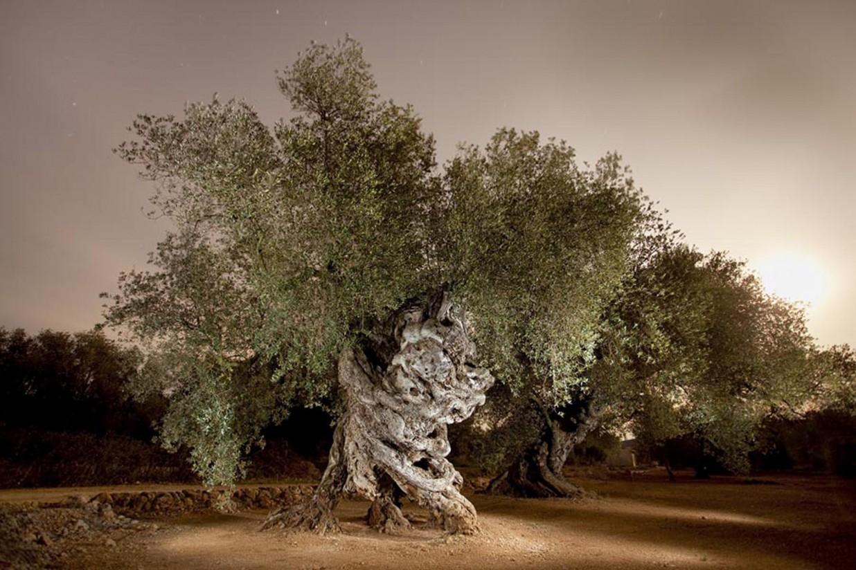 Un árbol de Castellón gana el Premio AEMO al Mejor Olivo Monumental de España 2016