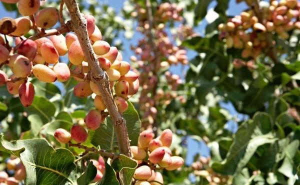Estudio de la variabilidad agronómica y calidad del pistacho