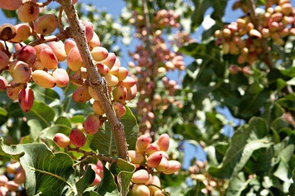 El pistacho y el caqui, entre las 37 nuevas especies de plantas huéspedes de Xylella fastidiosa