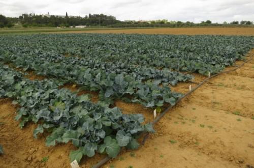 Resultados de ensayos de variedades de brócoli en Extremadura