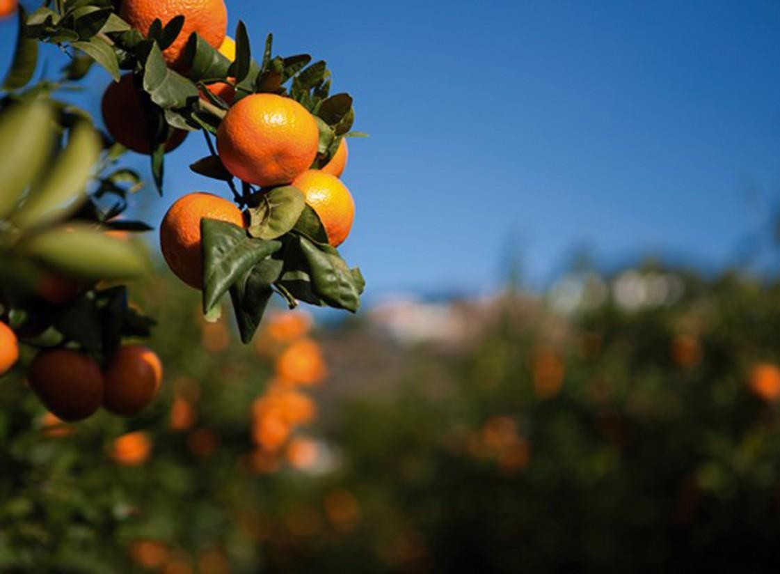 Las variedades protegidas doblan y triplican el precio de las convencionales