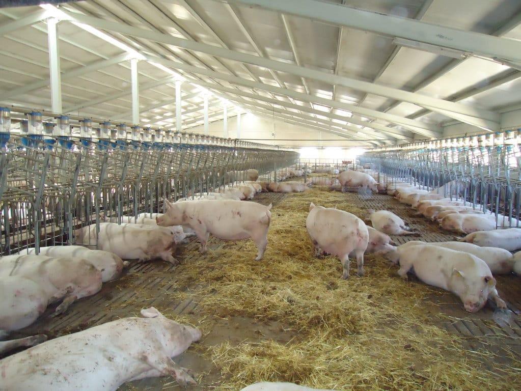 El tamaño de  las explotaciones porcinas españolas casi se ha triplicado en los últimos quince años