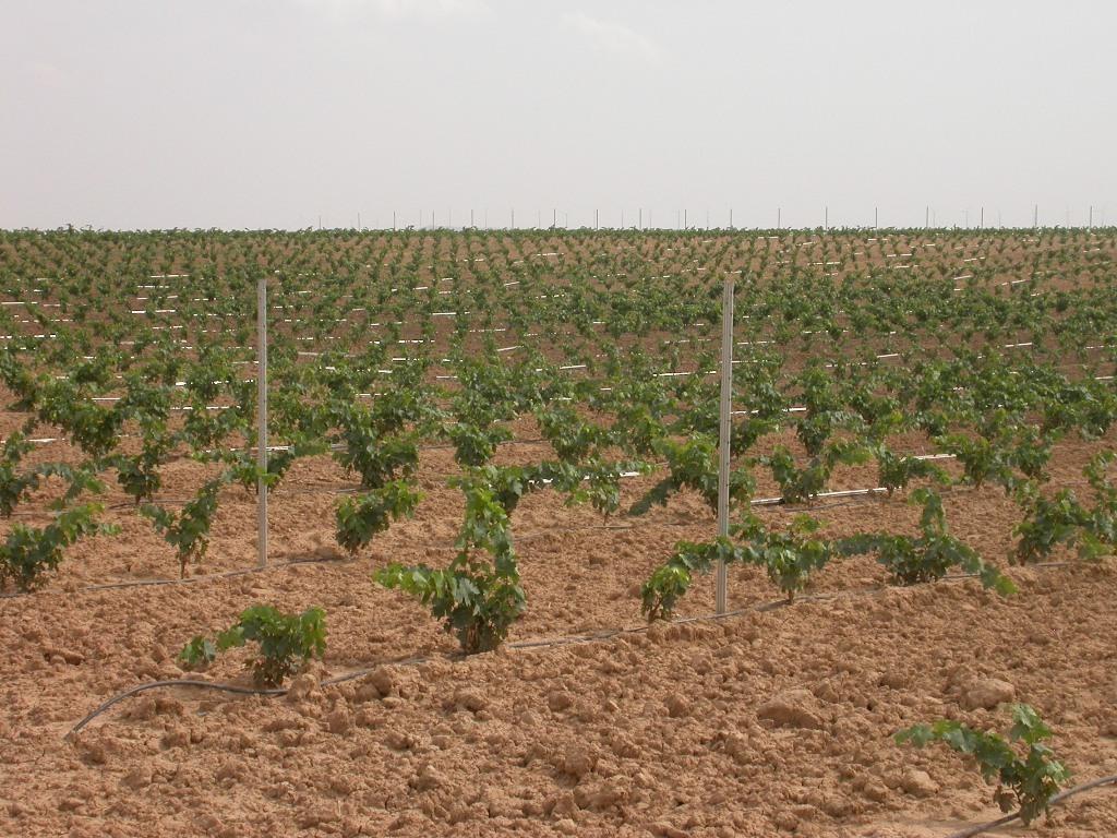 Poco más de una hectárea de viñedo autorizada para nueva plantación por cada tres solicitadas en 2016