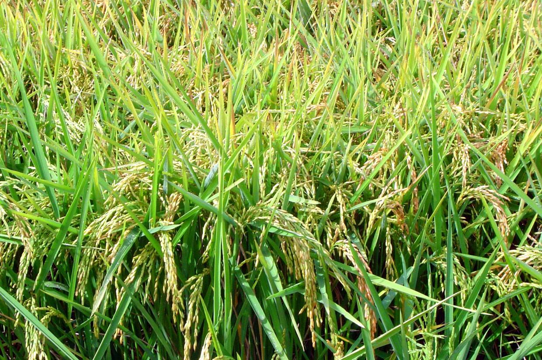 España importará en esta campaña 79.000 toneladas de arroz, frente a unas exportaciones de 200.000 t