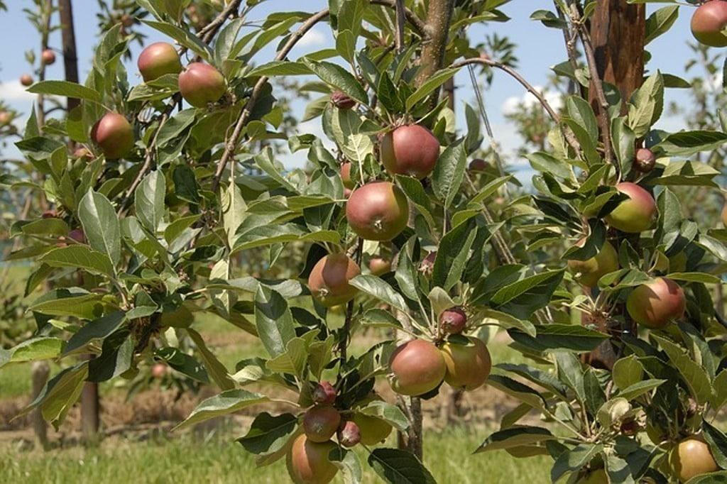 La próxima cosecha de pera será un 12% menor, pero aumentará un 6% la de manzana