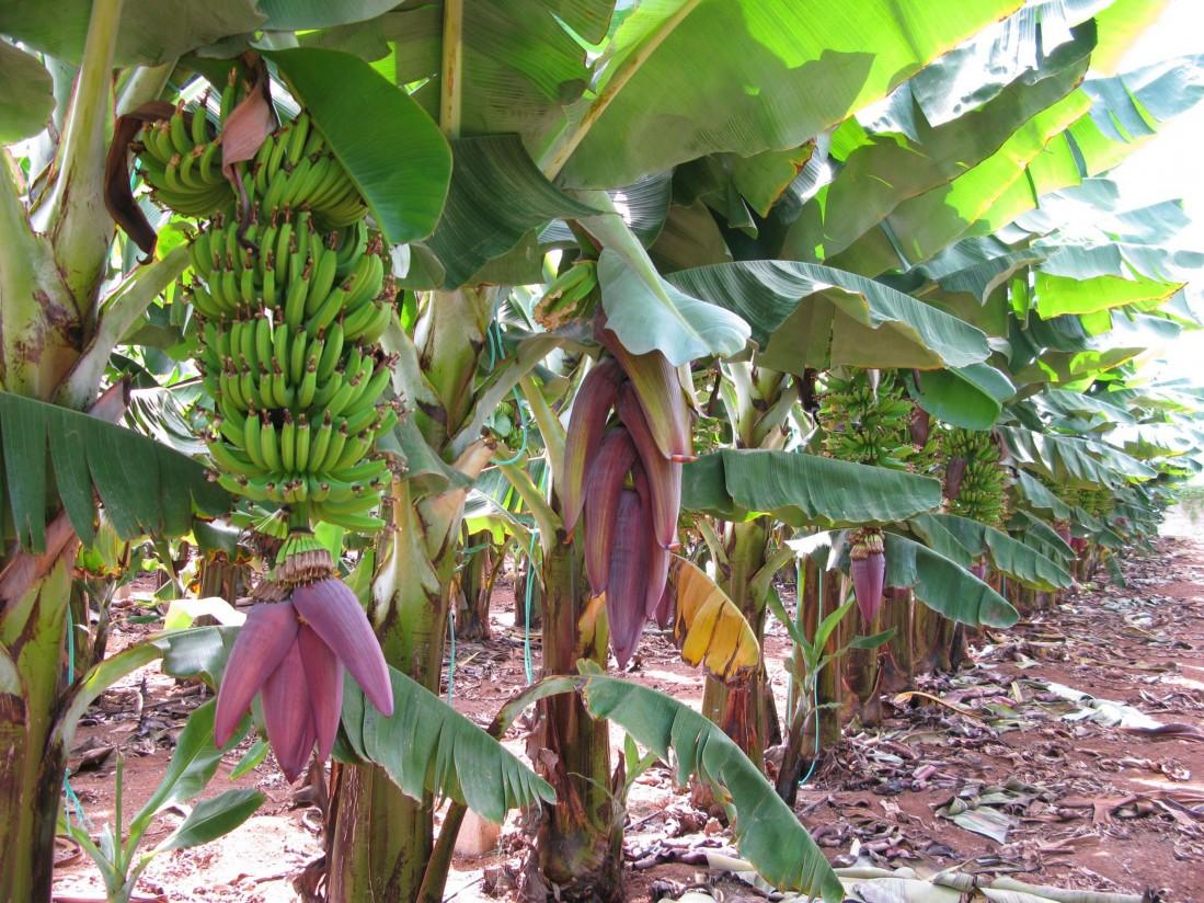 Plátano de Canarias reivindica que se incluya a las DOP e IGP en el futuro acuerdo TTIP con EE.UU.