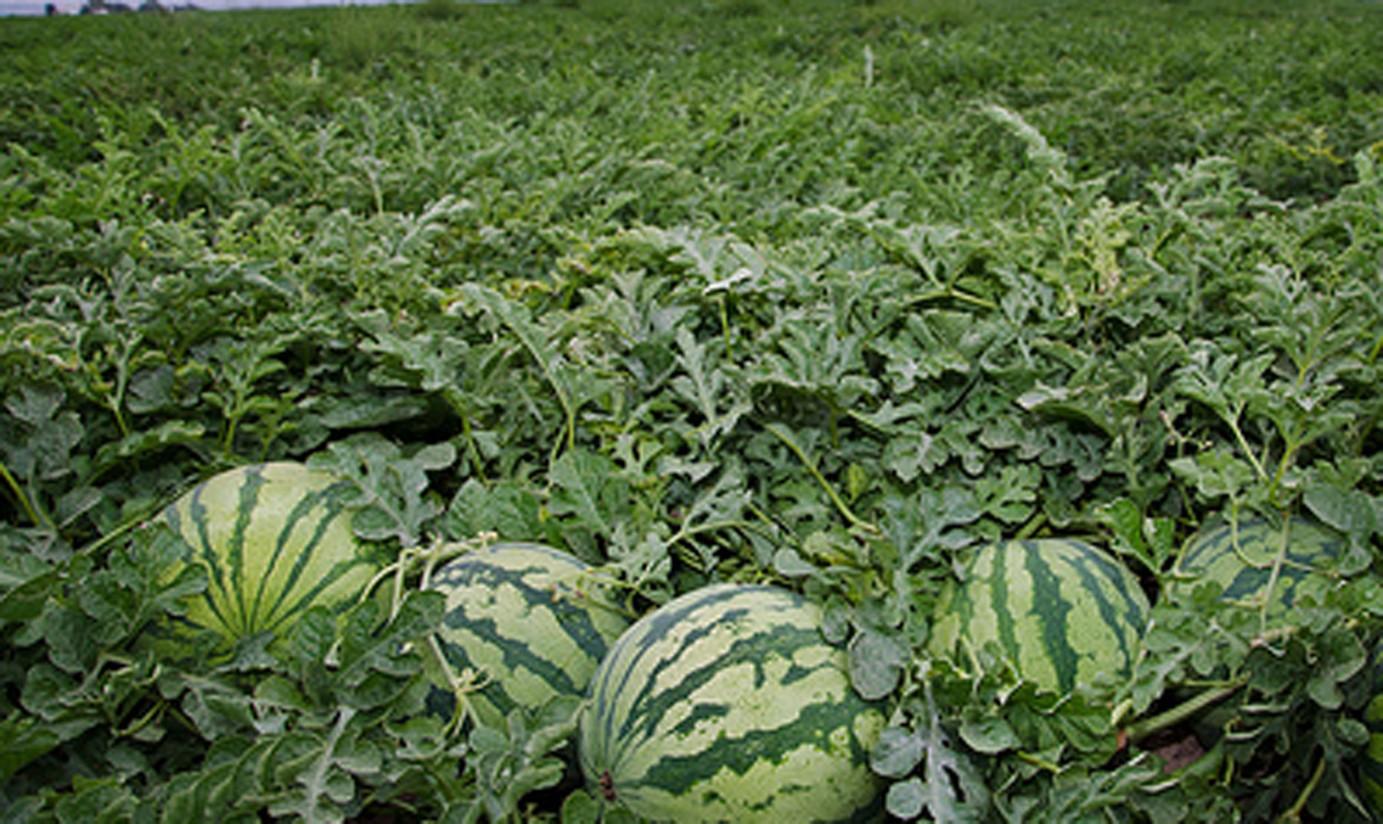 Brandt organiza un webinar para analizar la innovación en los cultivos del melón y la sandía