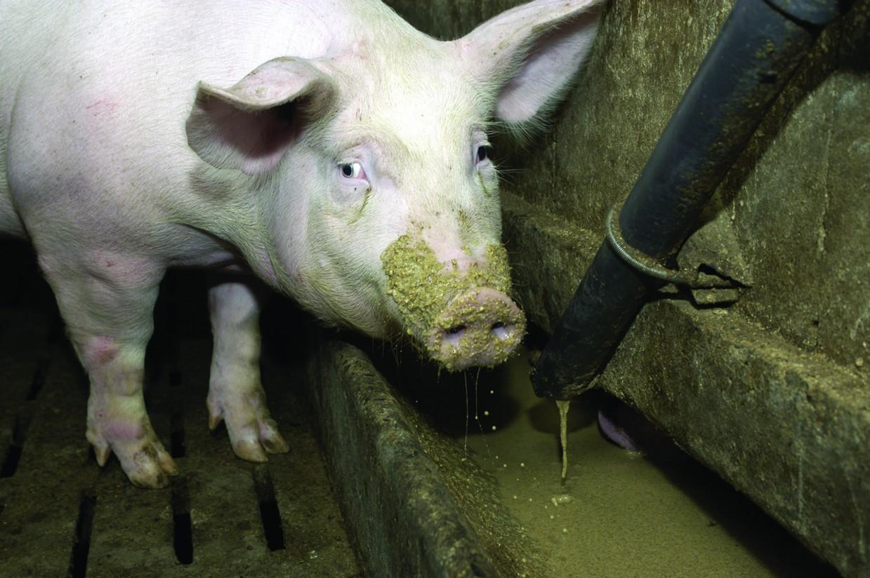 Zoetis presenta Lincomix 110: una nueva formulación de lincomicina para el ganado porcino