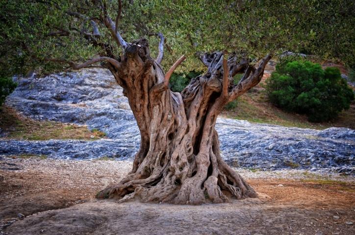 Olivos milenarios, Patrimonio de la Humanidad. Por Jaime Lamo de Espinosa