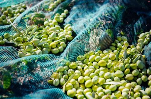 Campaña oleícola 2015/2016, óptima comercialización a precios rentables
