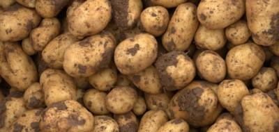 Gestión integrada de plagas en patata