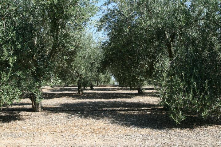 Bases para la gestión integrada del emplomado del olivo