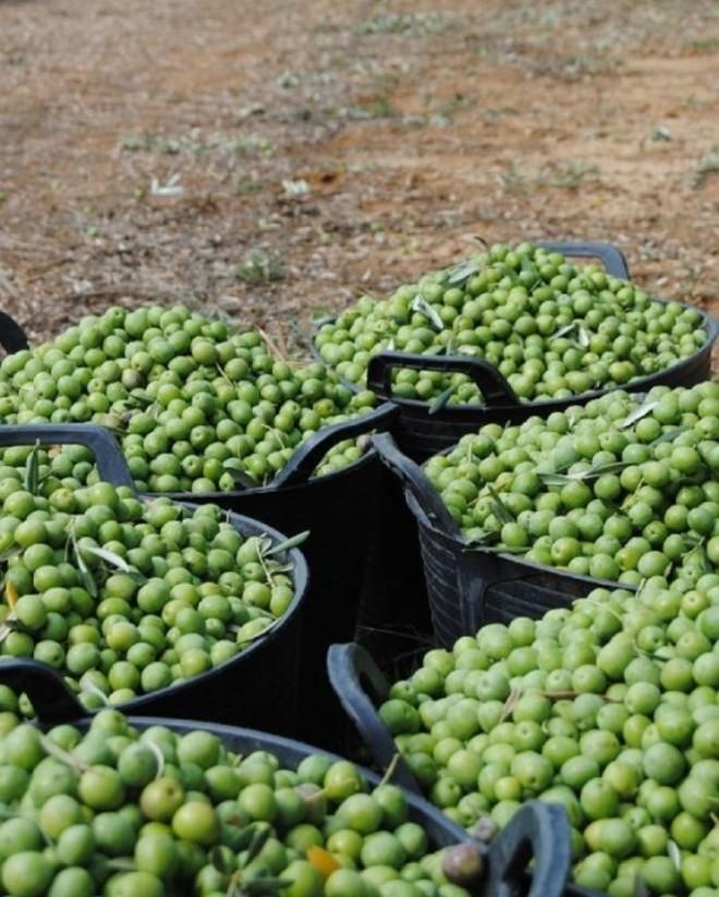 Hacia la peor cosecha nacional de aceituna de mesa en 10 años