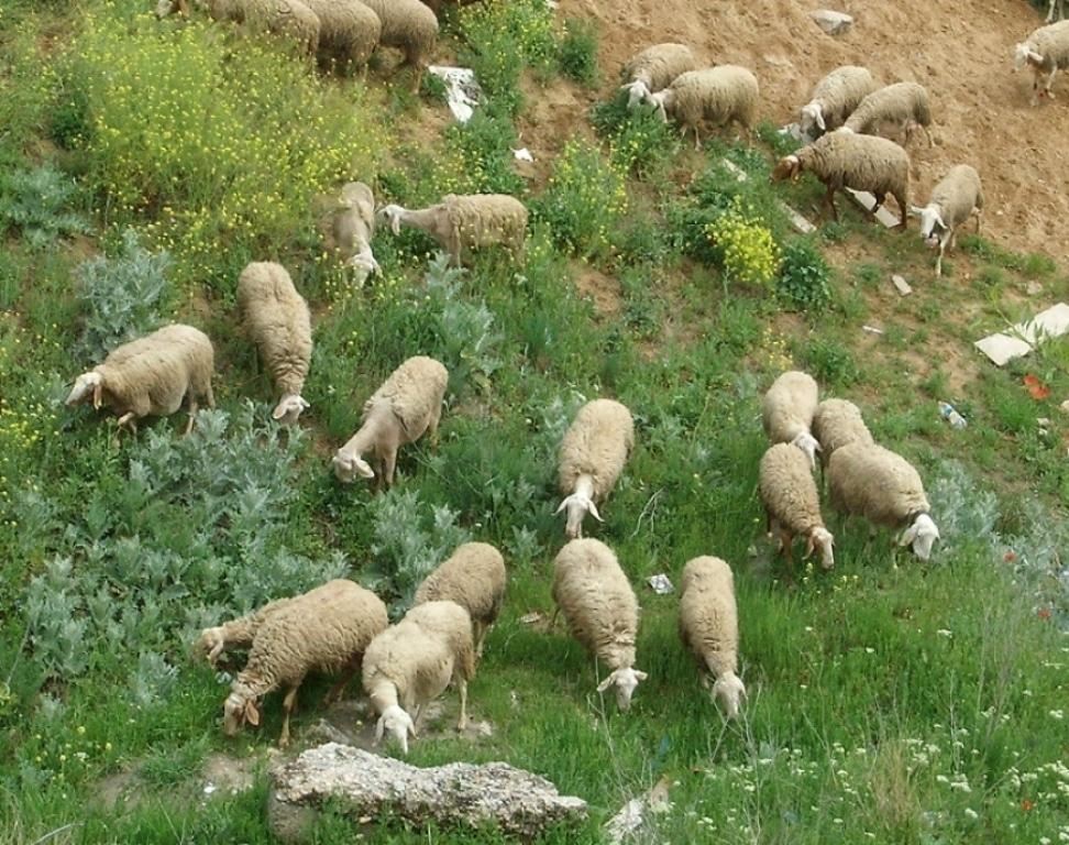 """El sector productor de carne de ovino-caprino de la UE presenta su """"hoja de ruta"""" al comisario Hogan"""