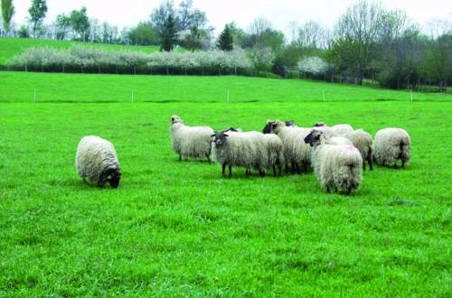 Programa de mejora genética de las ovejas de razas Latxa y Carranzana