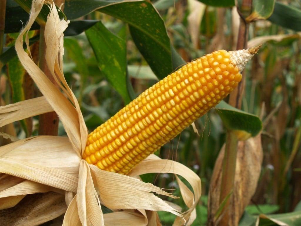 El cultivo de maíz Bt supuso un ahorro de 193 M€ en importaciones de maíz desde 1998