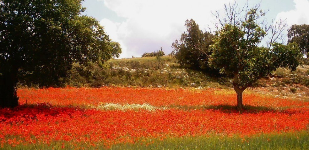campo de amapolas [1024x768] (FILEminimizer)