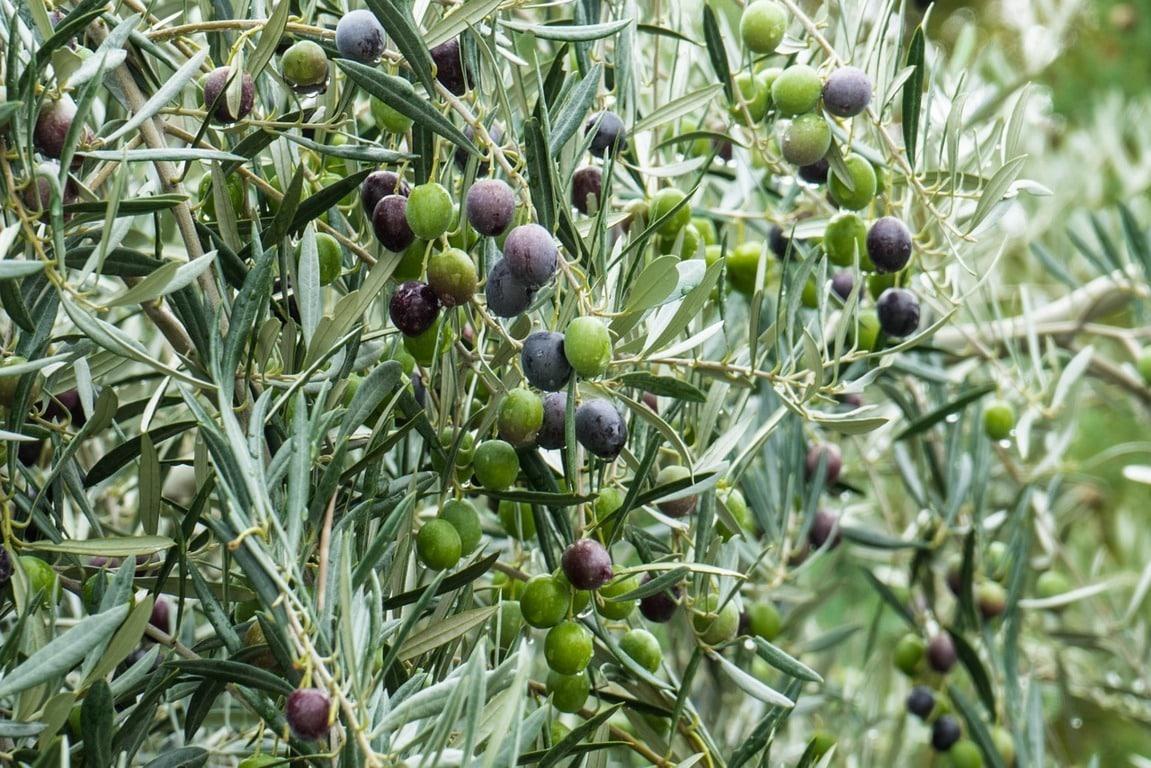 El último aforo de Interaceituna deja la cosecha de verdeable en 502.240 toneladas