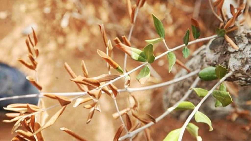 Xylella fastidiosa por vez primera en España en tres muestras de cerezos de un centro de jardinería balear
