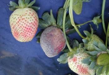 Desarrollo e incidencia de podredumbre gris y oídio en fresa
