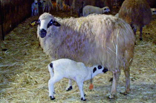 Alternativas de alimentación para mejorar la calidad de la grasa de cordero lechal