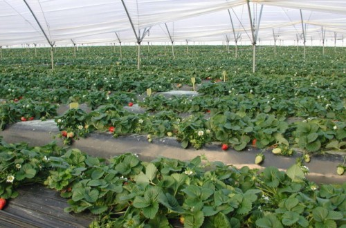 Caracteres agronómicos, organolépticos y funcionales de cinco variedades de fresa