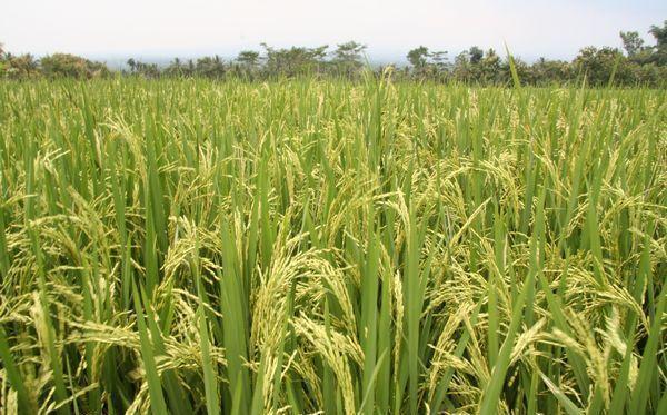 UPA exige que se investiguen las importaciones de arroz procedentes de Camboya