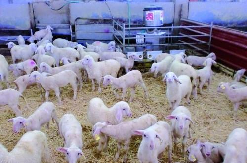 Cebo de corderos: utilización de raciones completas