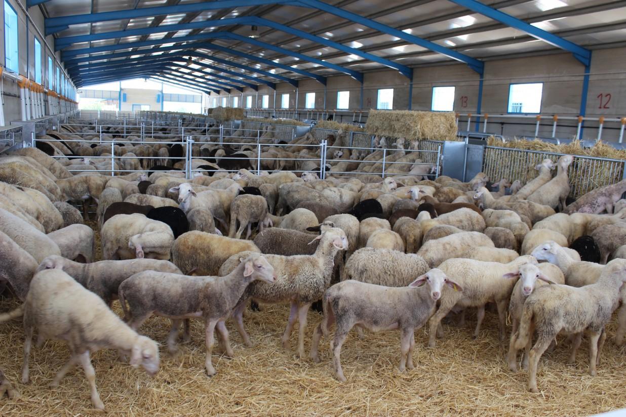 Draxxin incorpora el ganado ovino a sus especies de destino