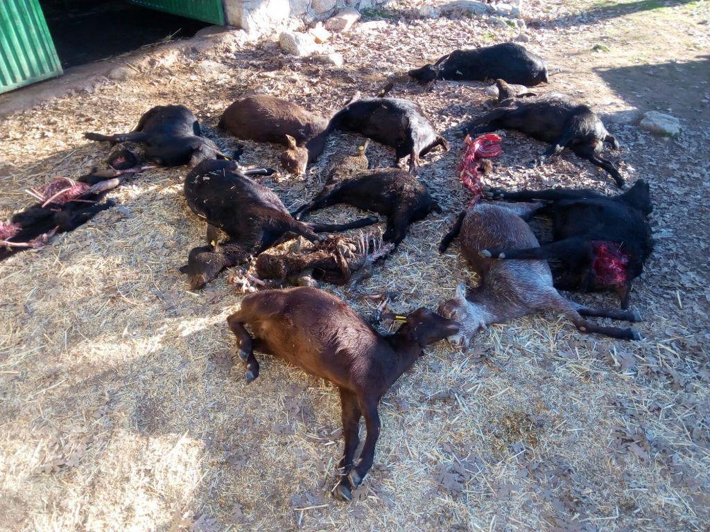 """Ataque """"brutal"""" de lobos a 40 animales caprinos en la provincia de Ávila"""