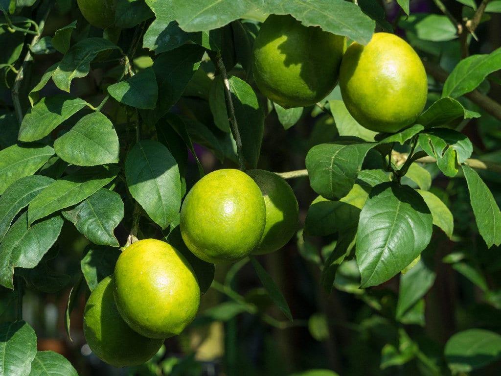 La UE elevará  los controles a los limones turcos importados desde el próximo 1 de enero