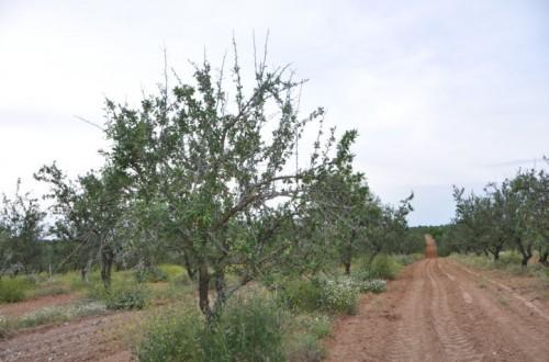 La antracnosis del almendro, susceptibilidad varietal en Andalucía