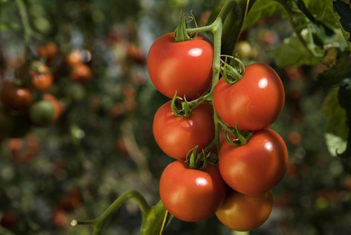 El Gobierno de Canarias convoca ayudas a los productores de tomate de exportación por 7,7 M€