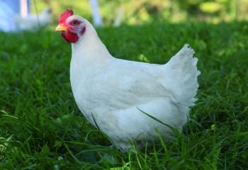 ¿Es razonable pensar en producir pollos sin antibióticos?