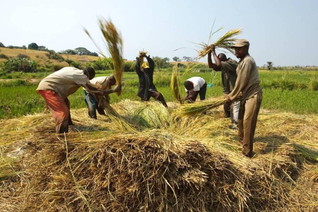 Los precios mundiales de los alimentos básicos bajan en 2016 por quinto año consecutivo, según la FAO