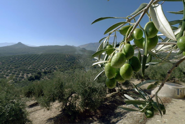 La exportación de aceite de oliva aumenta más del 30% en el primer cuatrimestre de campaña 2016/17