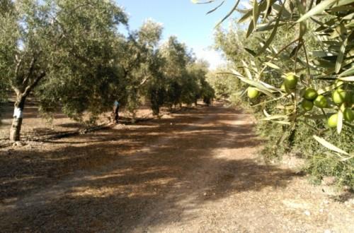 Cómo afecta el estrés hídrico en el cultivo del olivo a la formación de aceite