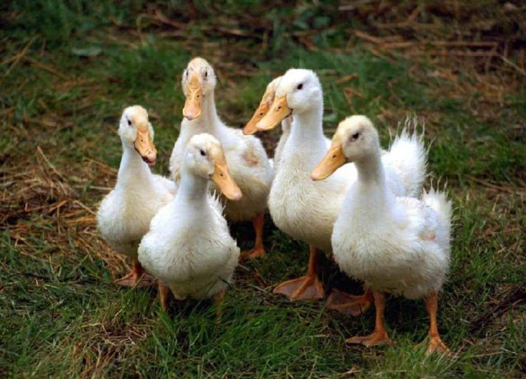 Casi 60 certificados de exportación avícola bloqueados en España por la gripe aviar