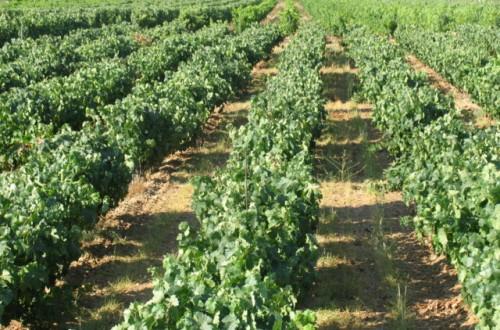 Respuesta cualitativa y productiva del viñedo en vaso a la variación de la dosis de riego