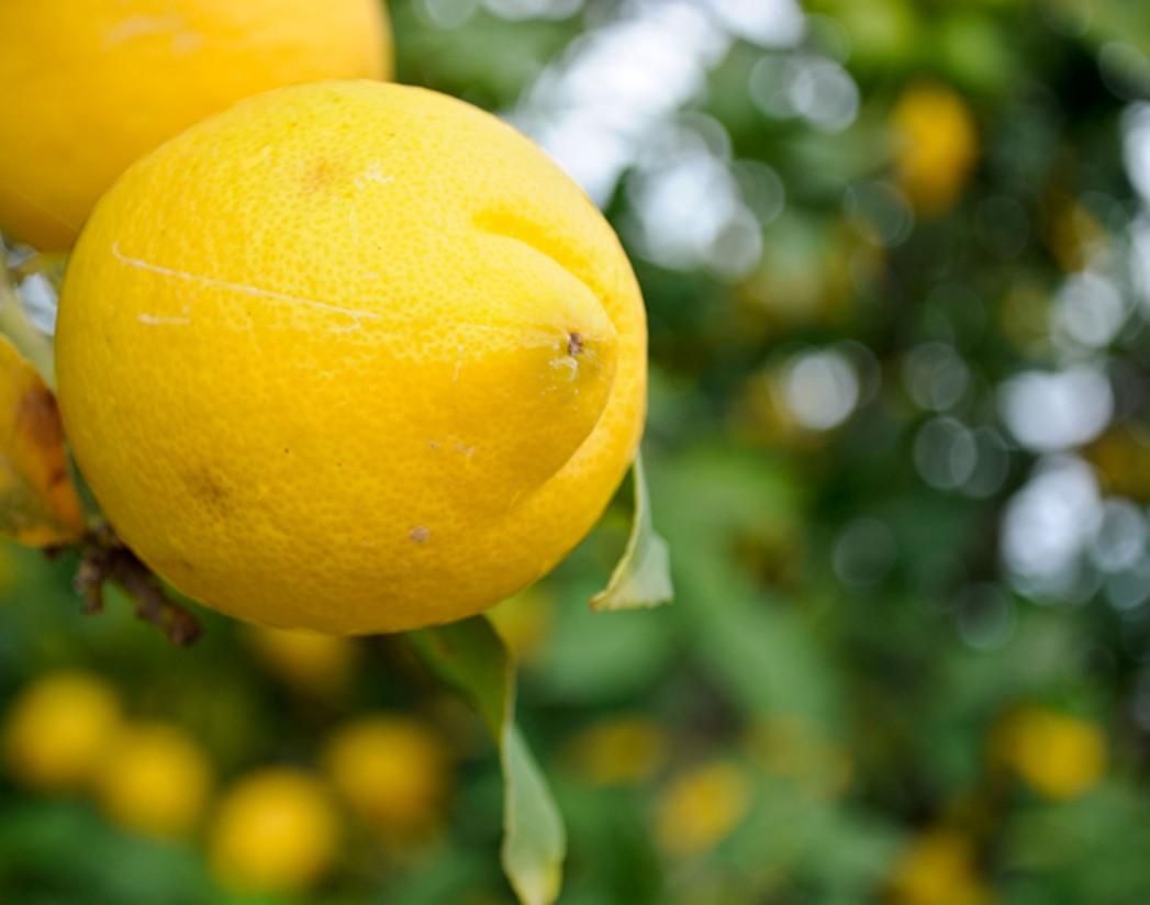 La producción de limón Verna se incrementa un 55%