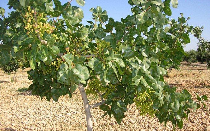 Abierta la inscripción para los cursos sobre el pistacho en El Chaparrillo