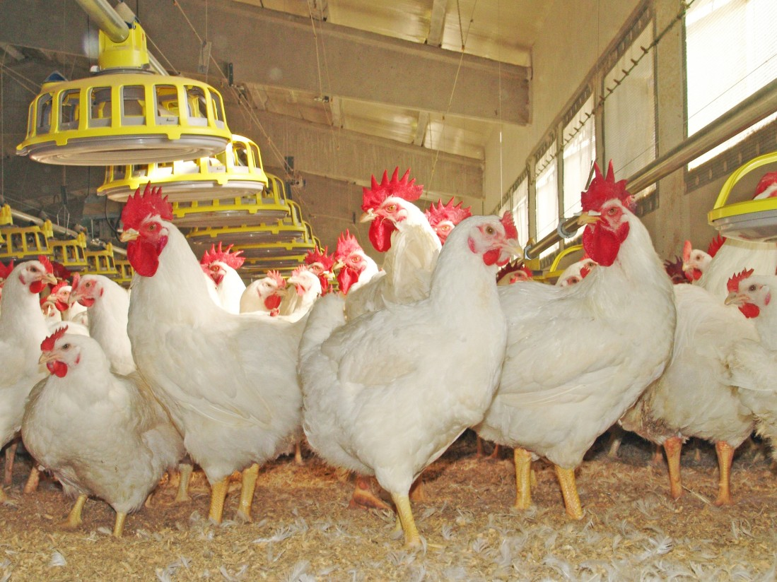 Ceva y Nova-Tech Engineering colaboran para mejorar la vacunación de gallinas ponedoras