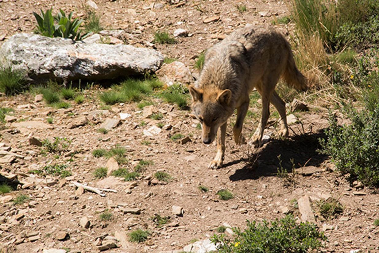 UPA, indignada por la protección que el Congreso quiere dar al lobo ibérico