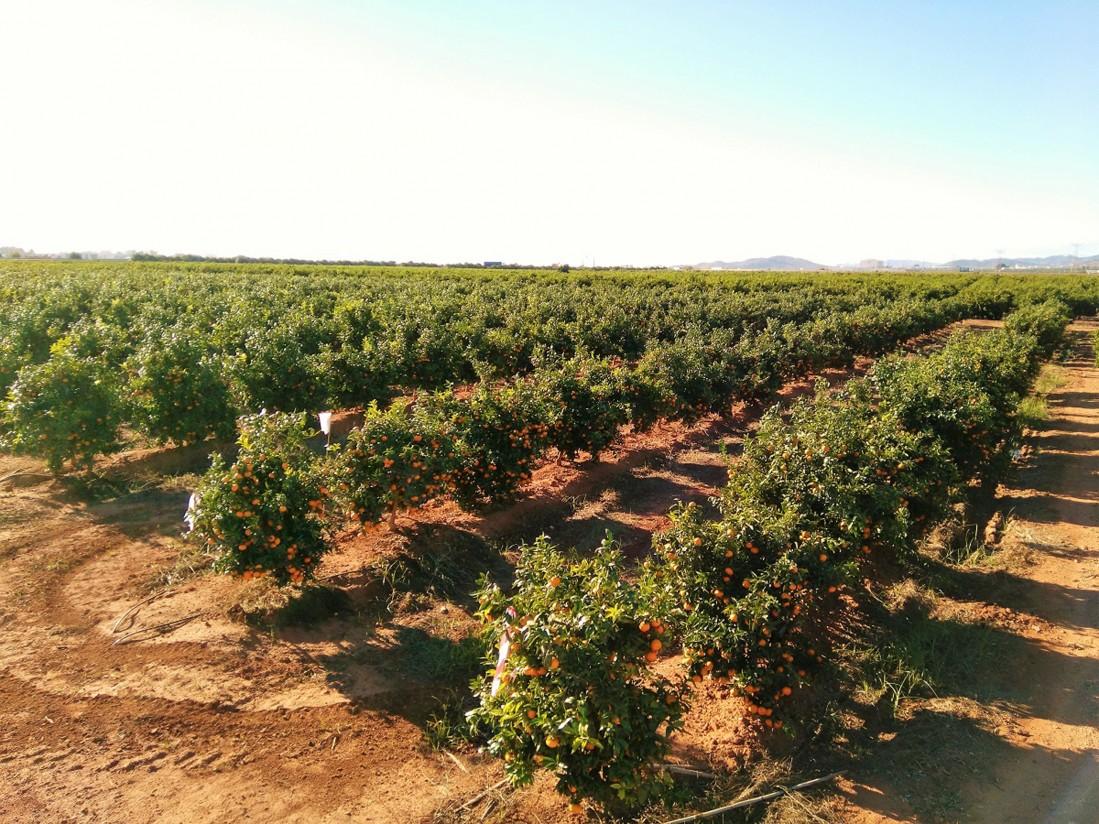 Varios países se interesan por la Octubrina, variedad de clementina cultivada en España