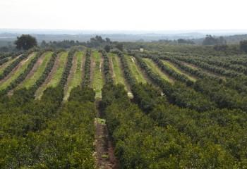 La gestión integrada del piojo rojo de California en los cítricos españoles