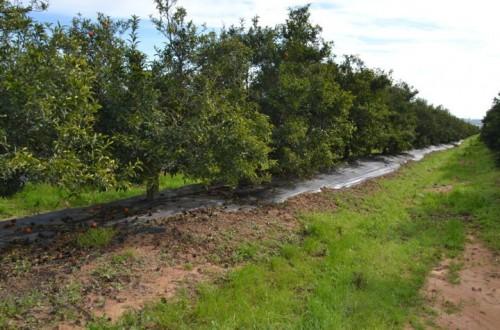Usos y ventajas de las cubiertas vegetales en cítricos
