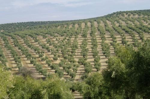 Respuesta del olivo a las aportaciones de fósforo en fertirrigación