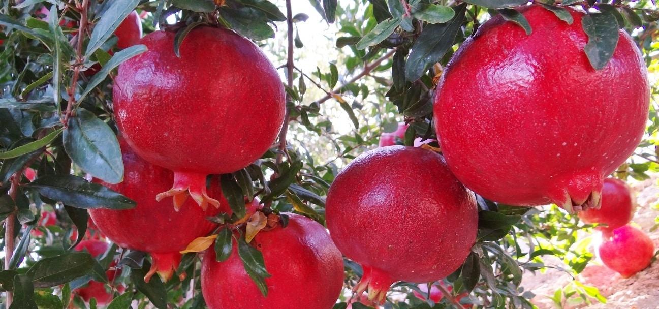 Genesis Innovation Group registra dos nuevas variedades de granada